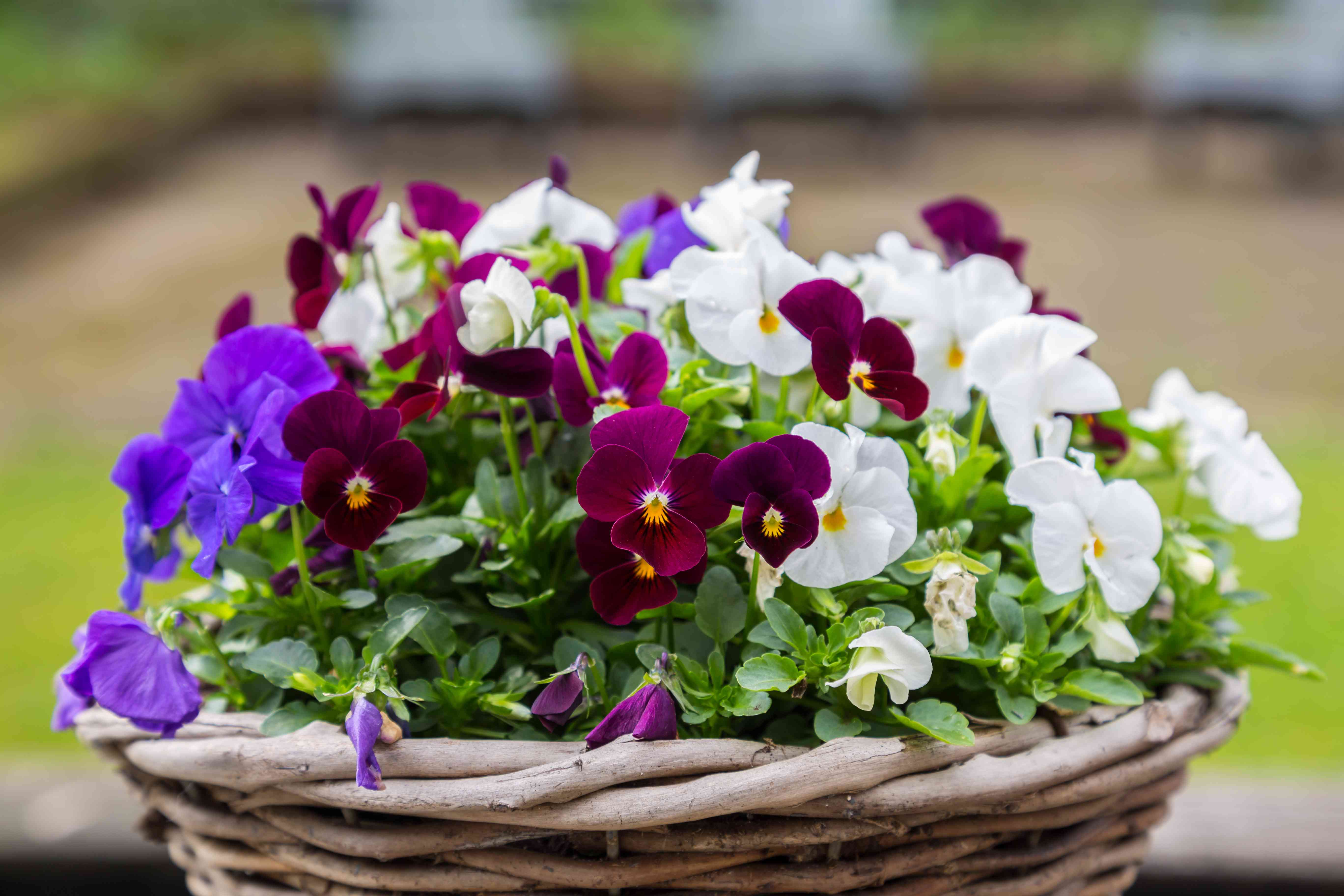 Multii colored viola in a basket