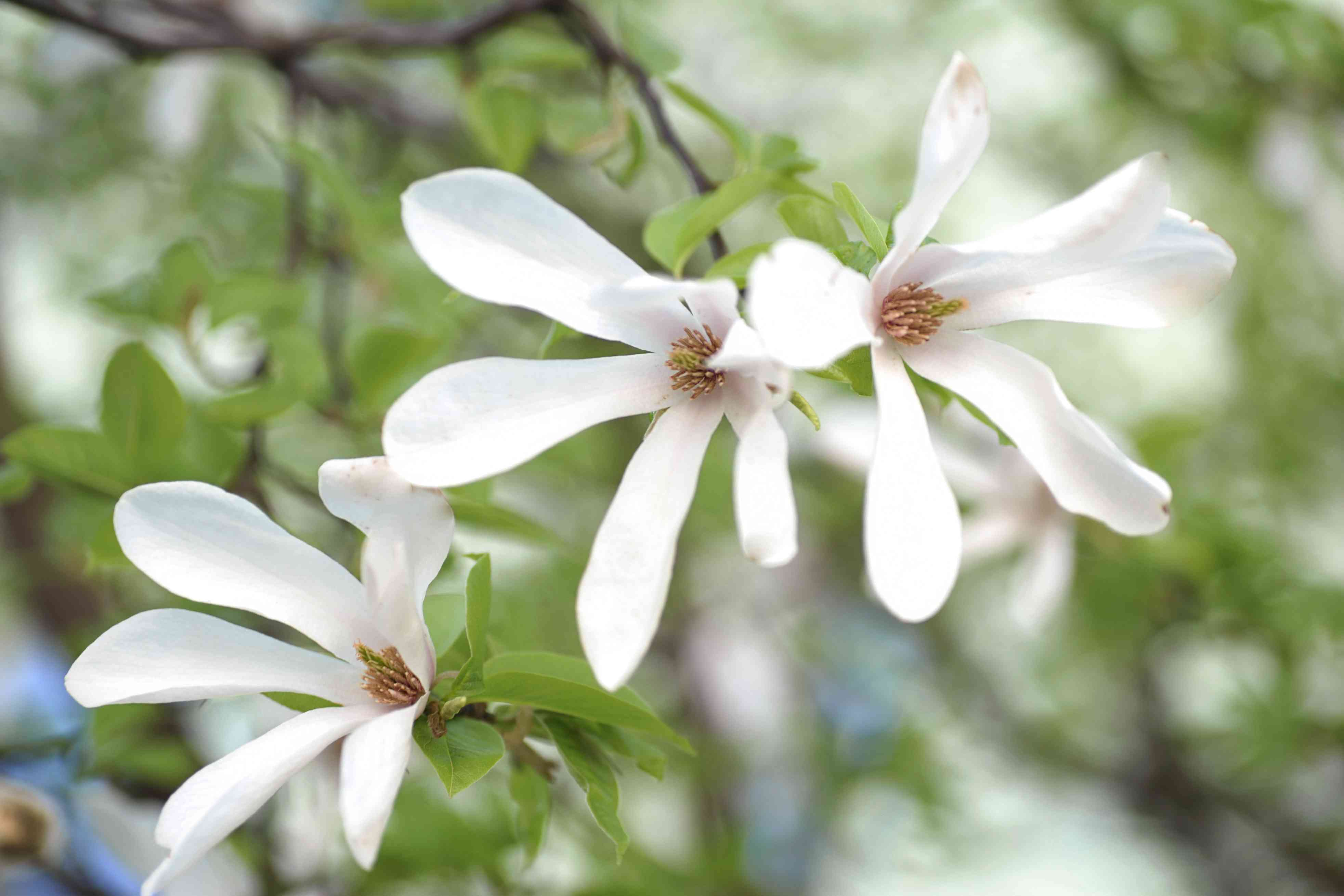 Kobus magnolia tree with three white flowers hanging from branches closeup