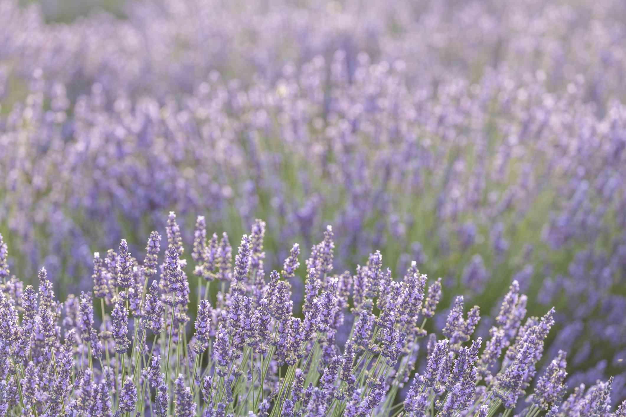 Backlit lavender on the Plateau de Valensole, France.