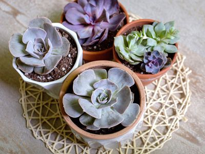 Ghost echeveria succulent plants in small pots on wicker mat