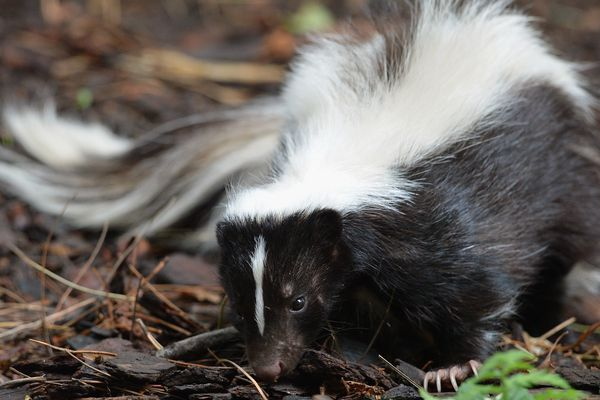How to Remove Skunk Smell from Clothes
