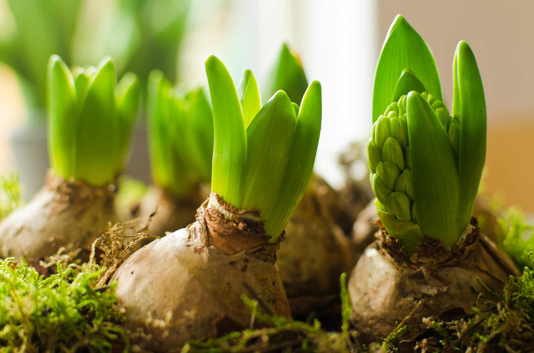 Hyacinths with flowers forming