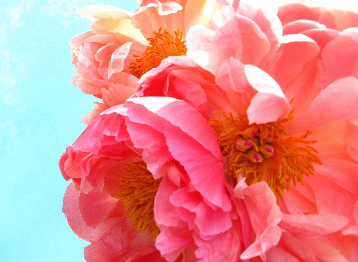 Pink peony flowers in bloom.