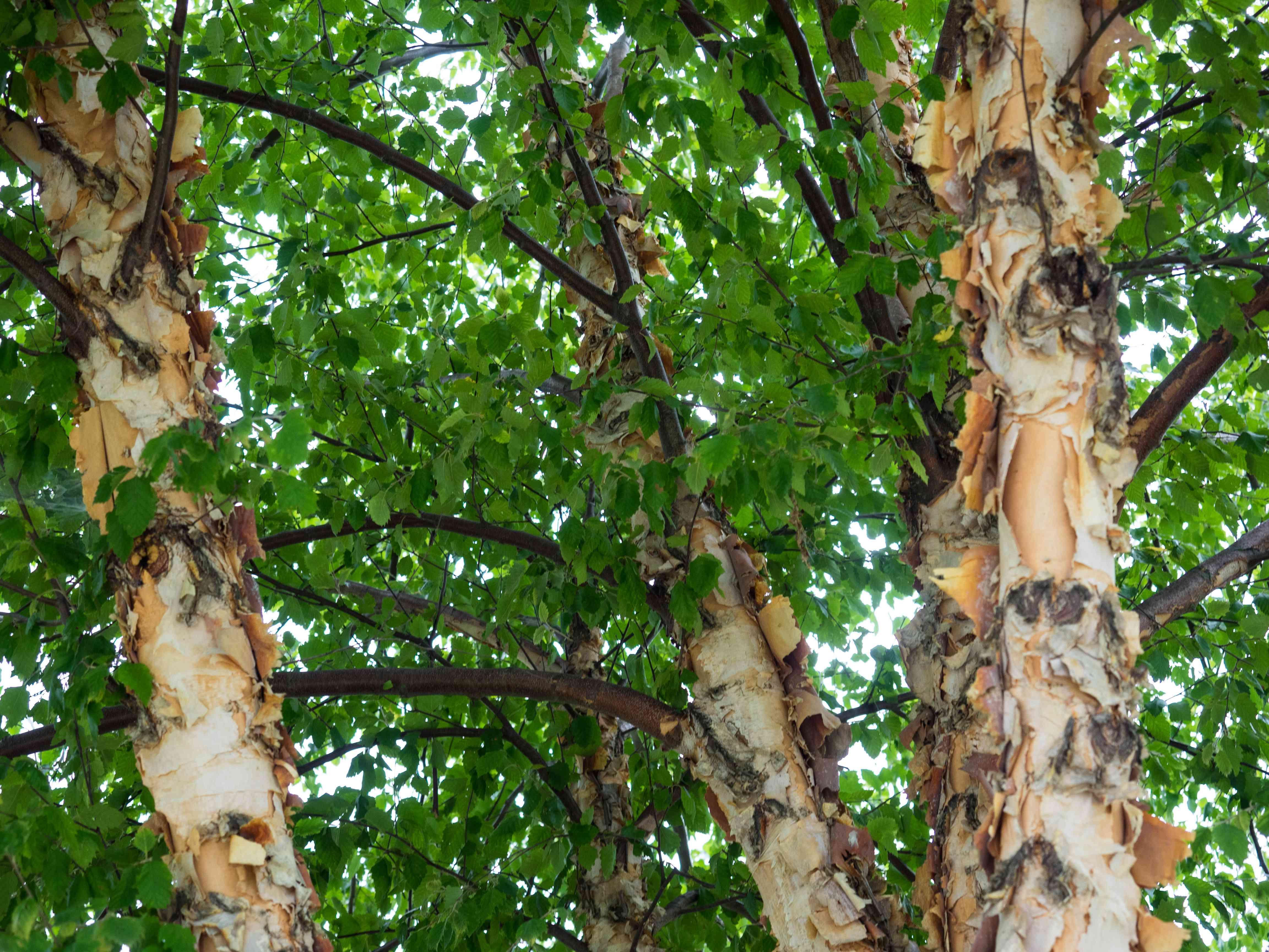 The river birch has interesting peeling bark.