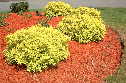 Red mulch sets off 'Golden Sunshine' spirea nicely.