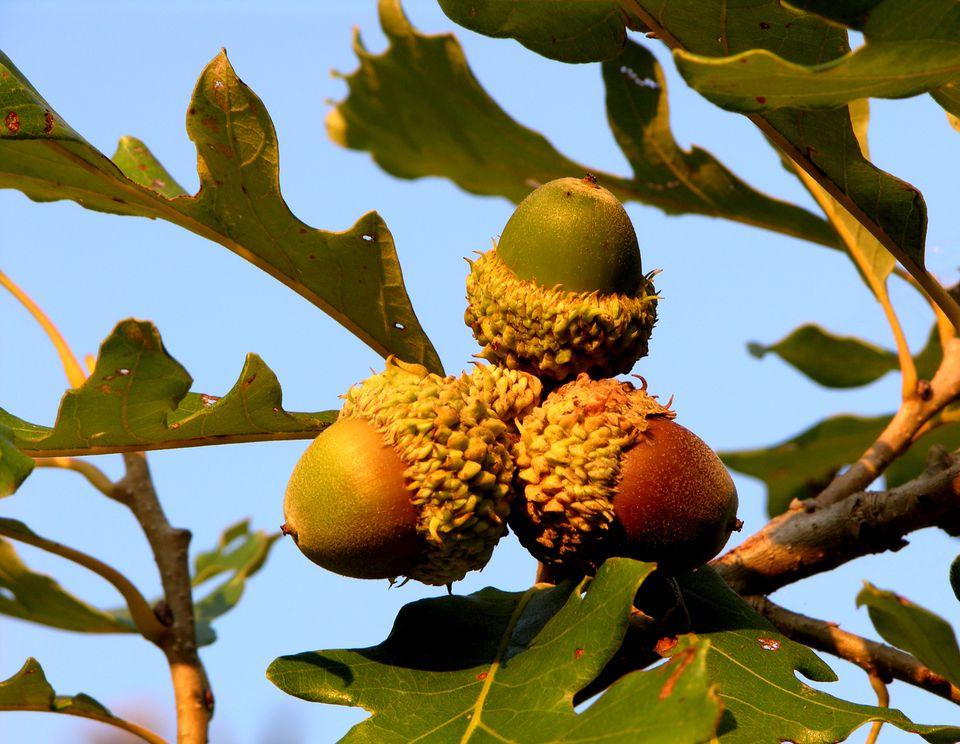 Bur oak acorn cluster