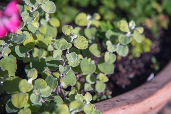 Licorice plant with small round leaves in container closeup