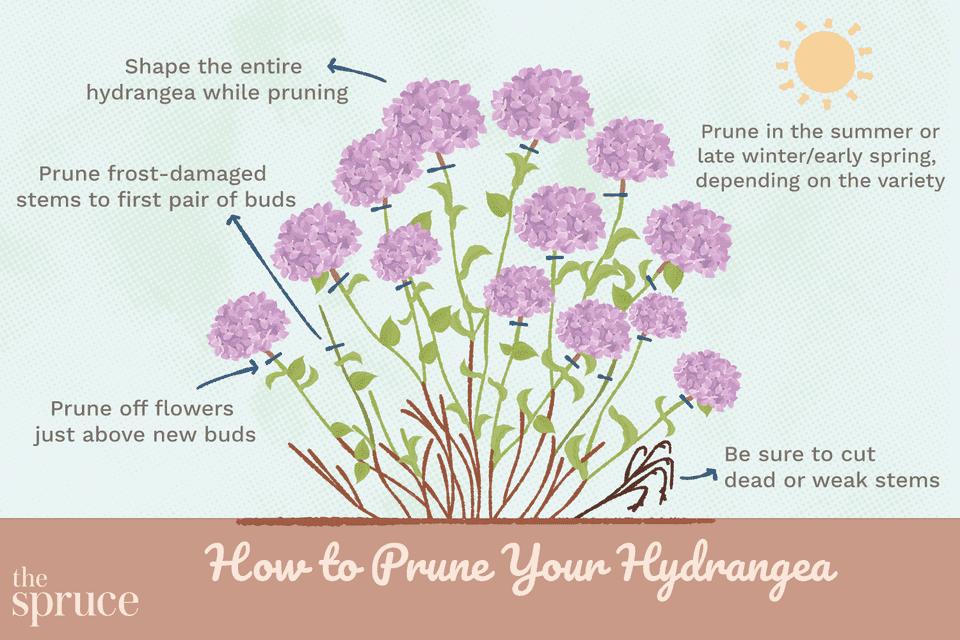 How to Prune Your Hydrangea