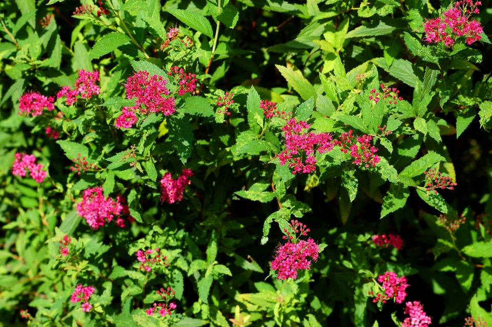 Neon Flash spirea with pink flowers