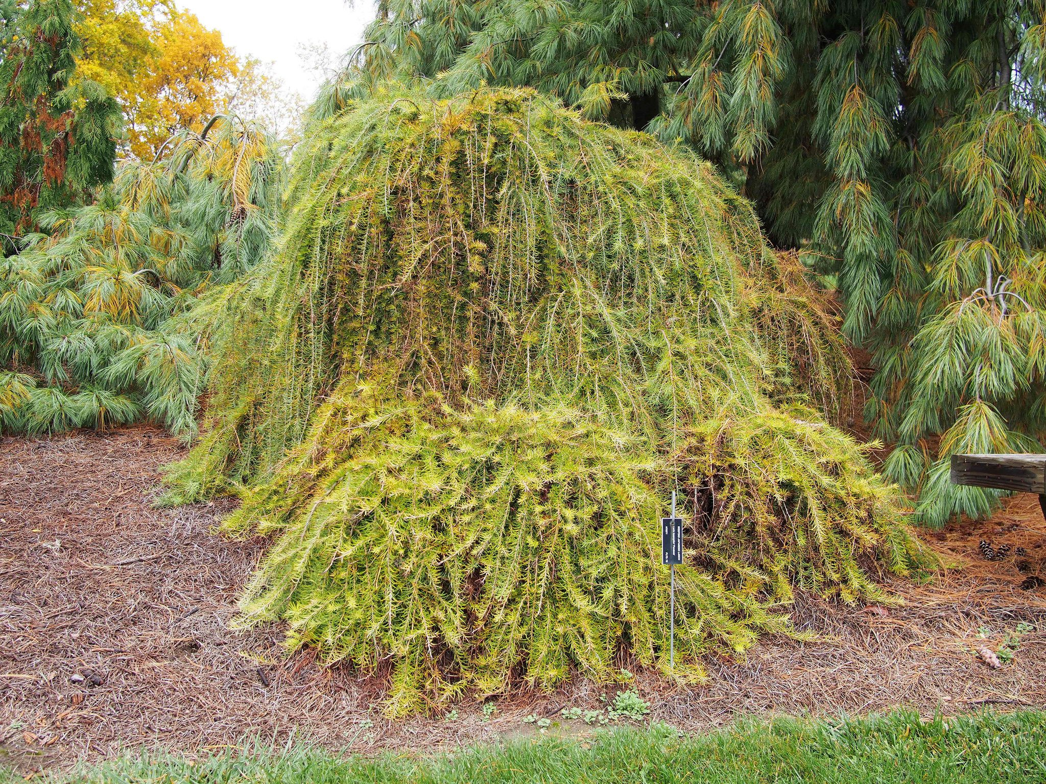 A weeping japanese larch