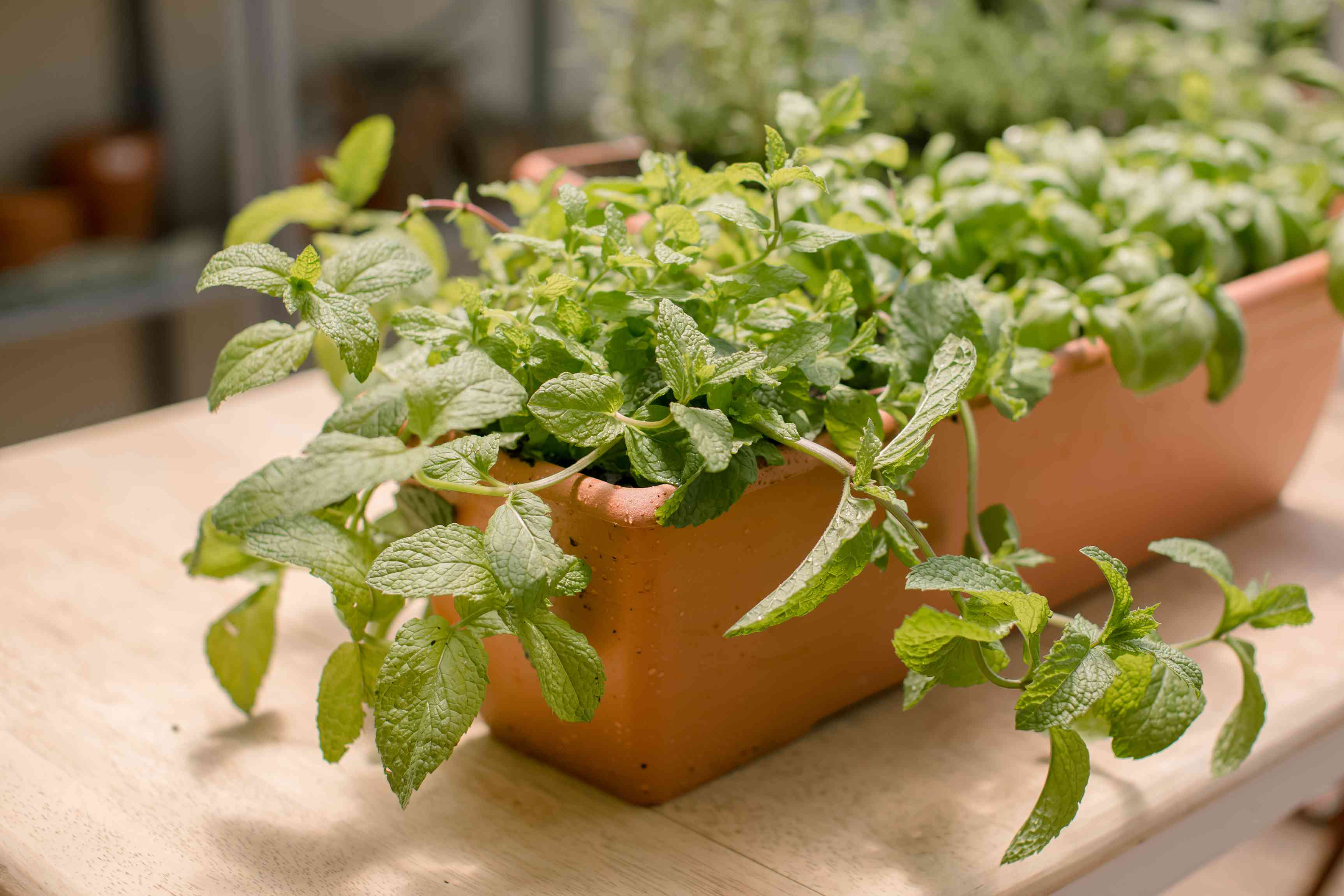 mint growing in a planter