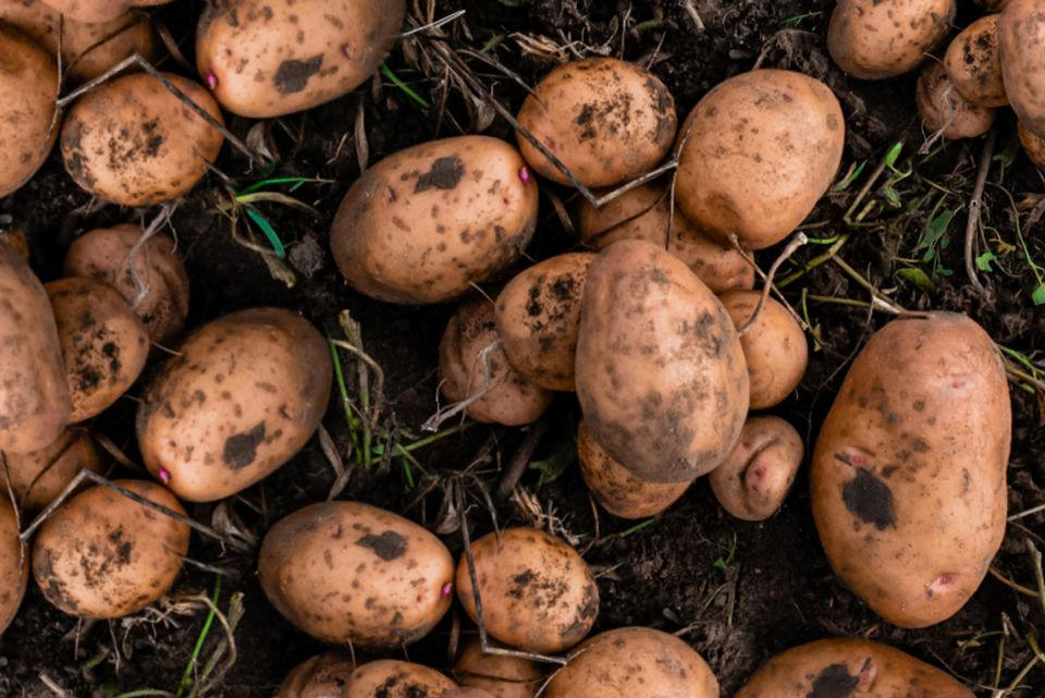 potatoes growing in the garden