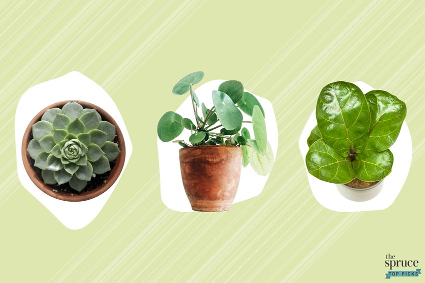 Photo composite of a succulent, a pilea, and a fiddle leaf fig tree over a green and white background.