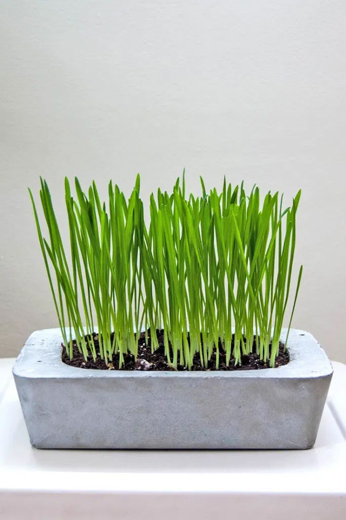 A concrete planter with cat grass growing in it