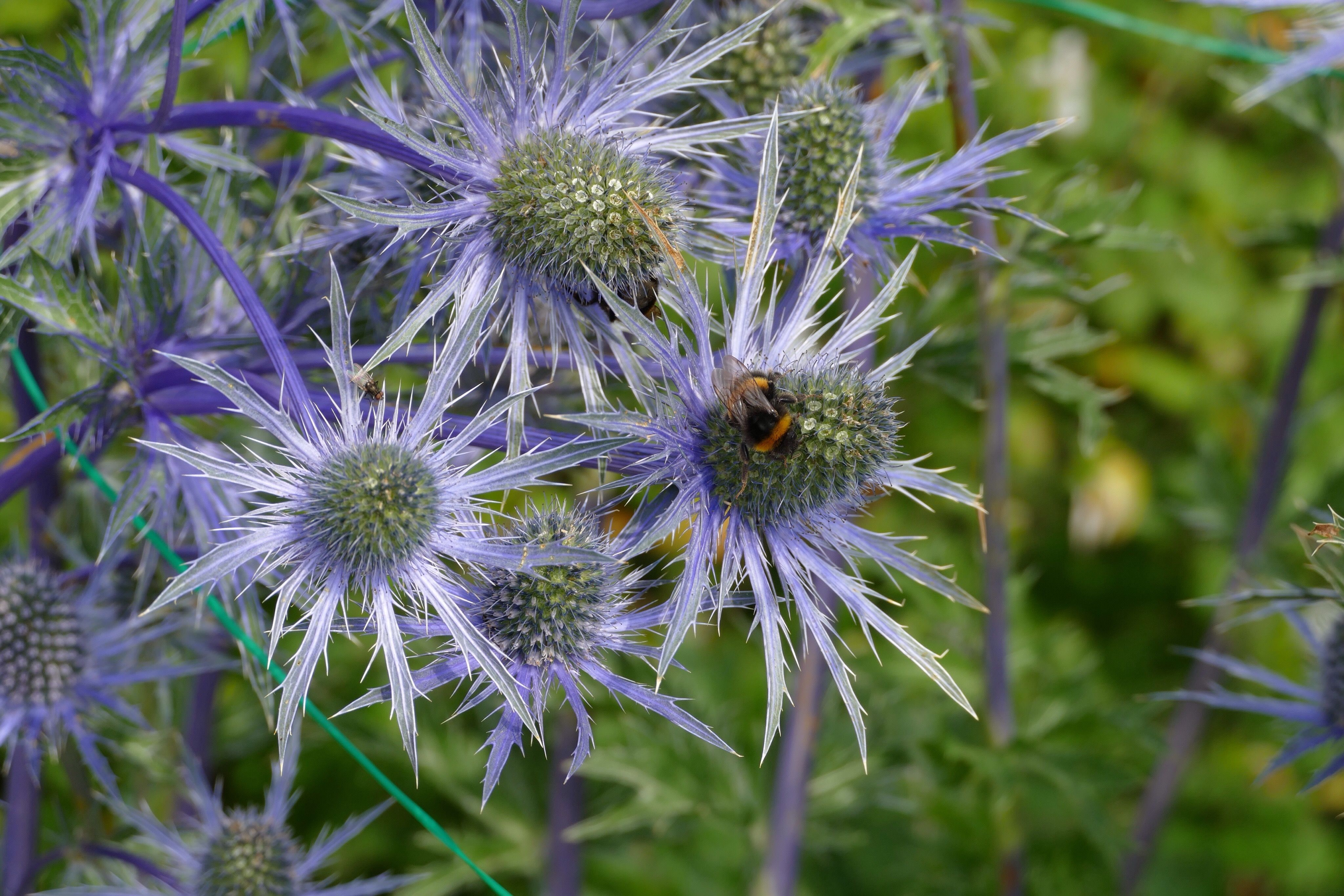 High Angle View Of Bumblebee On Sea Holly Flower