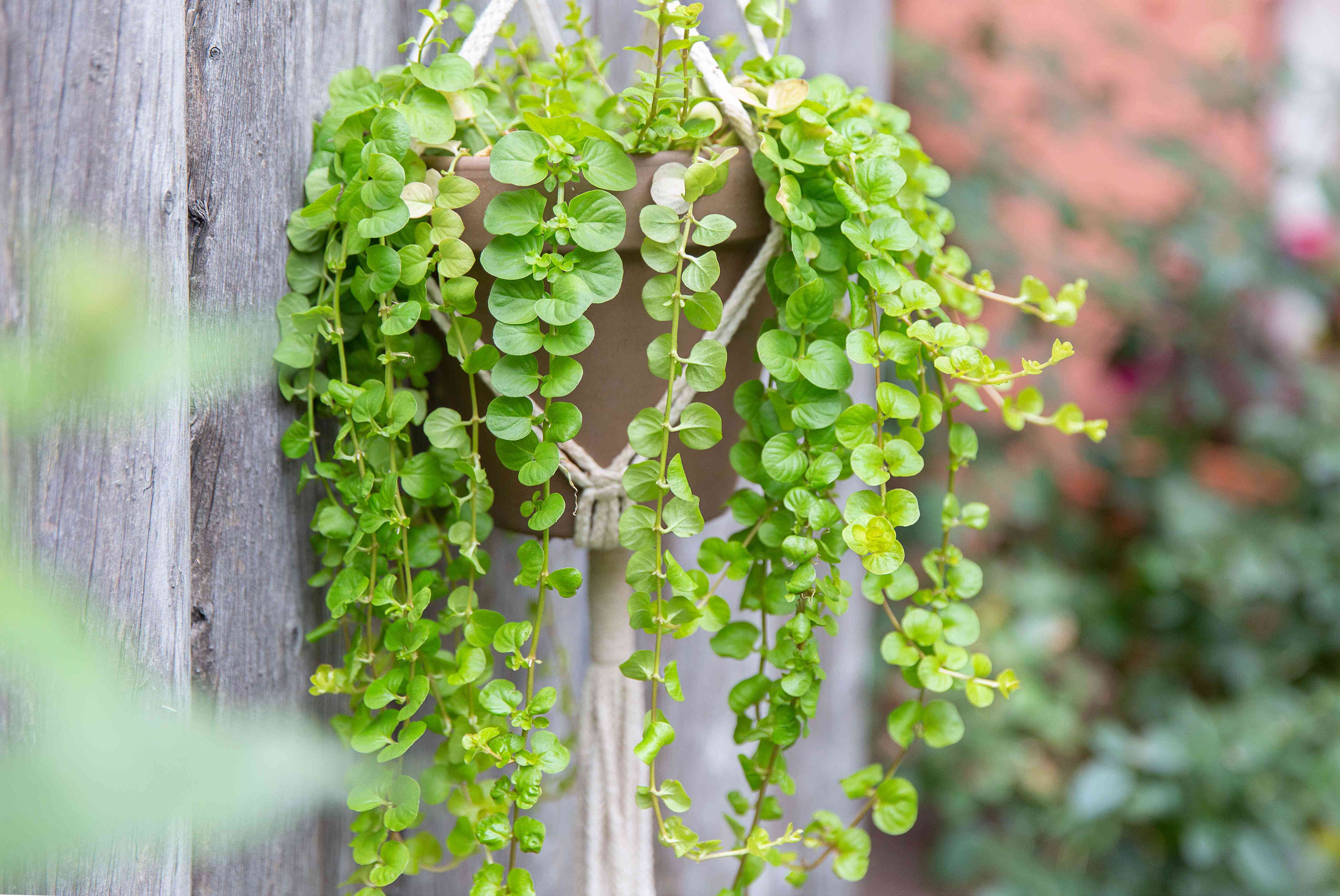 Creeping jenny plant in hanging planter with round lime-green leaves