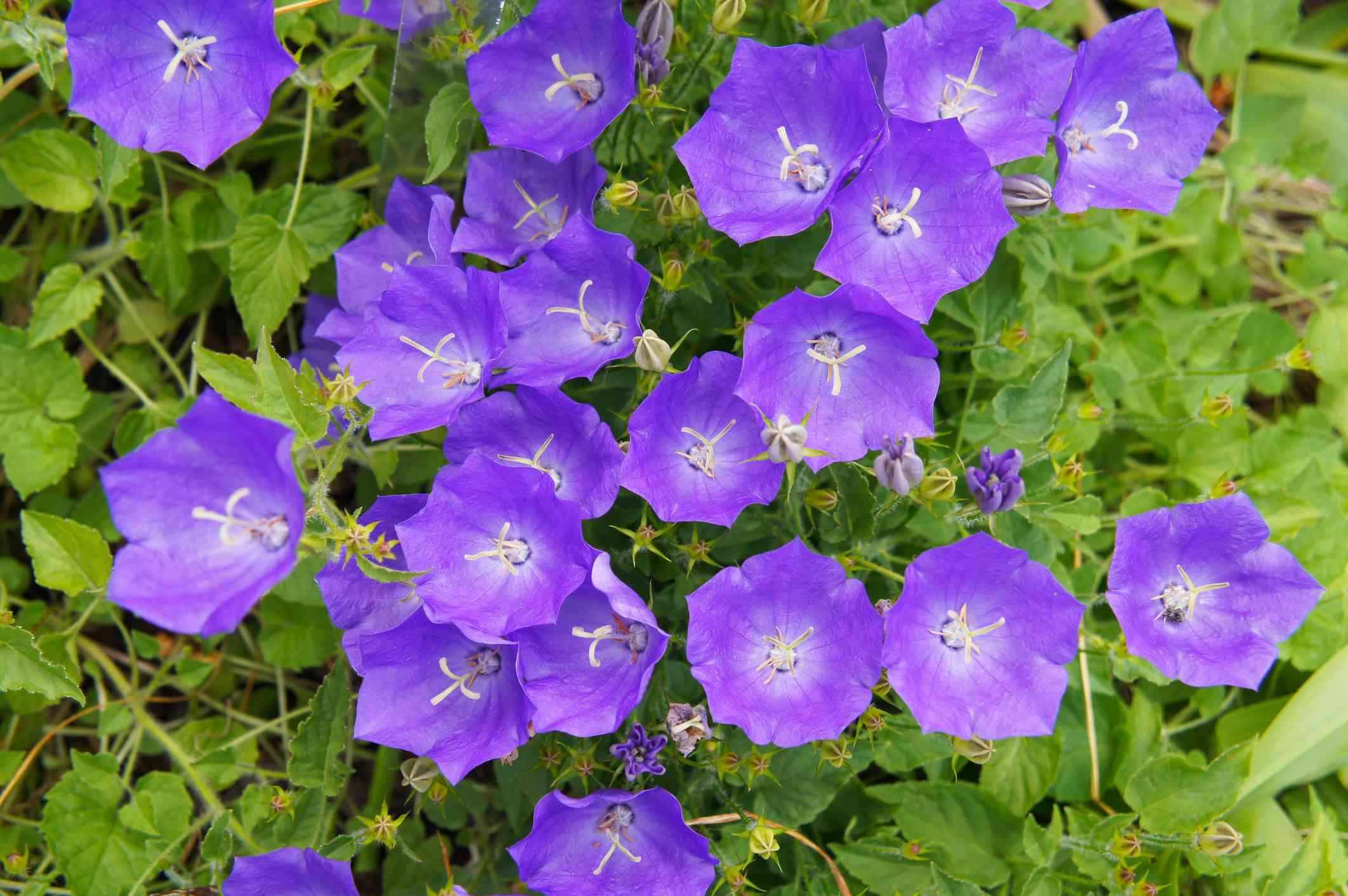 Several flowers of Carpathian bellflower.