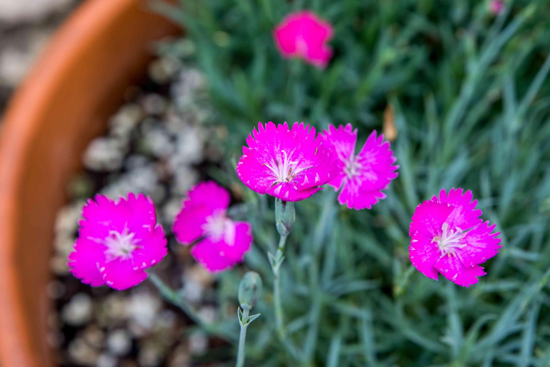 closeup of perennial dianthus