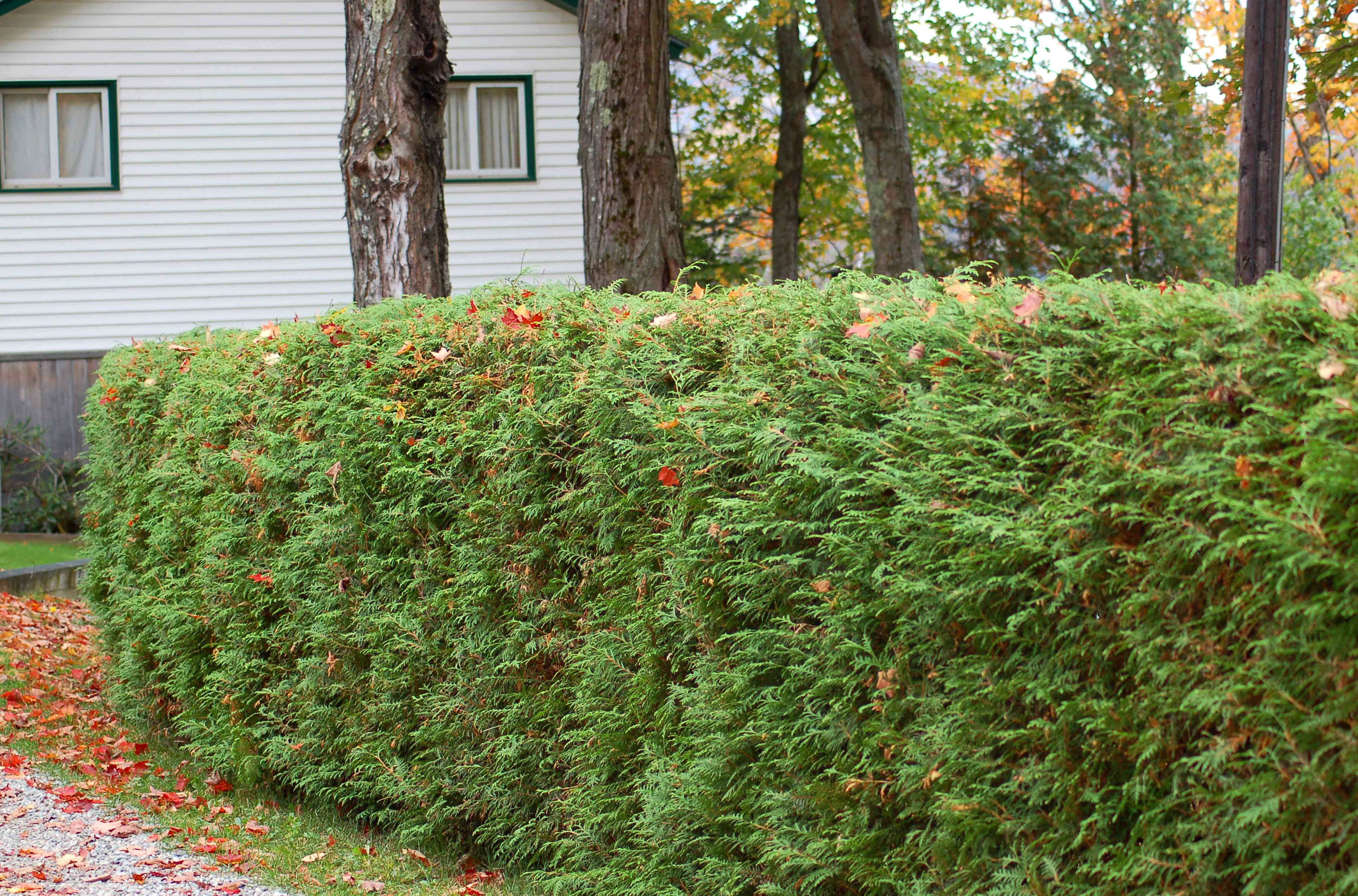 Evergreen shrub trimmed by white house
