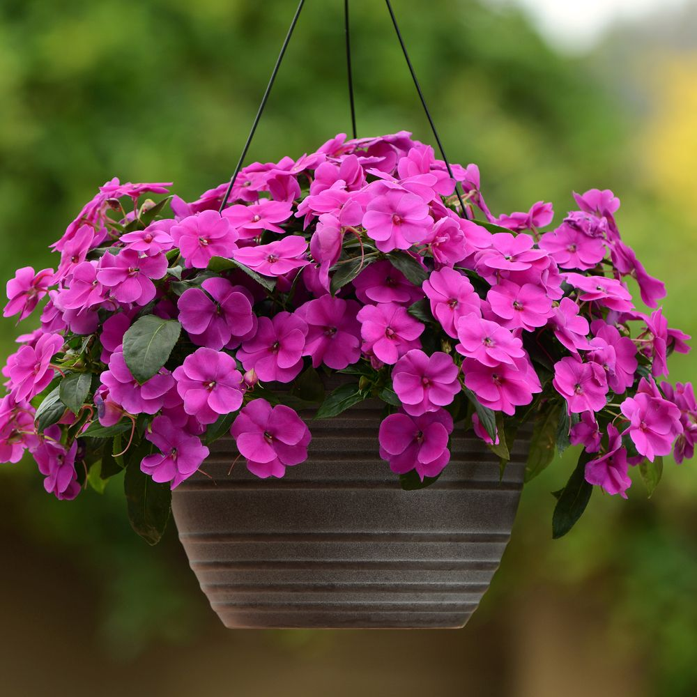 'Bounce Violet' impatiens with purple petals