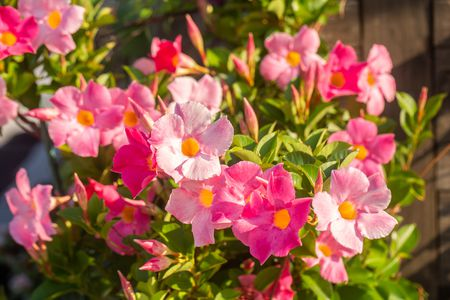 Mandevilla Plant Care Growing Guide