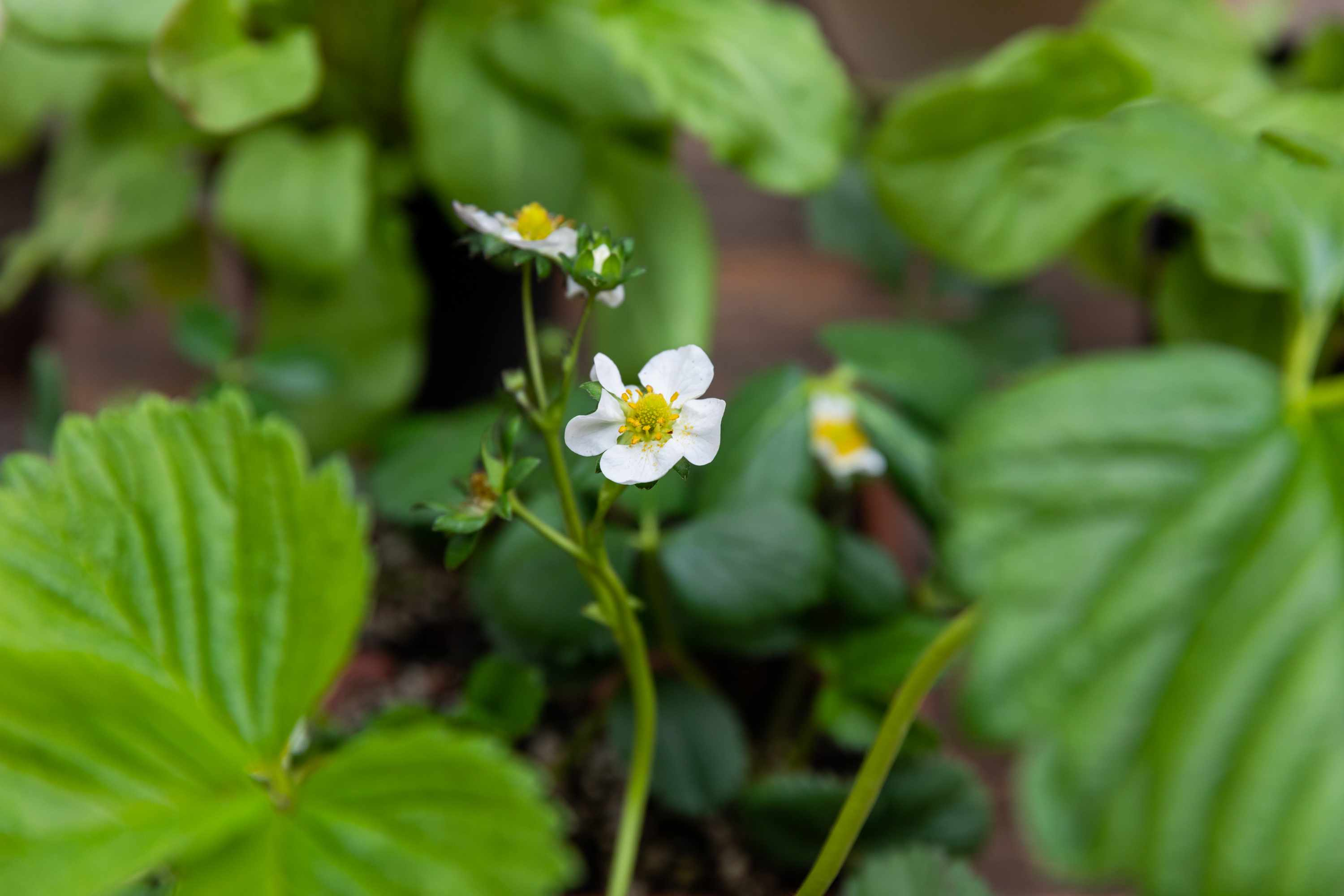 Small white flowers and buds in middle of strawberry plant
