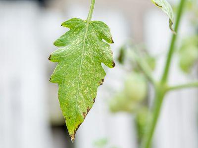 powdery mildew on a plant leaf