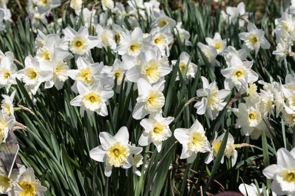 White daffodil flowers with yellow cup-like centers in sunlight
