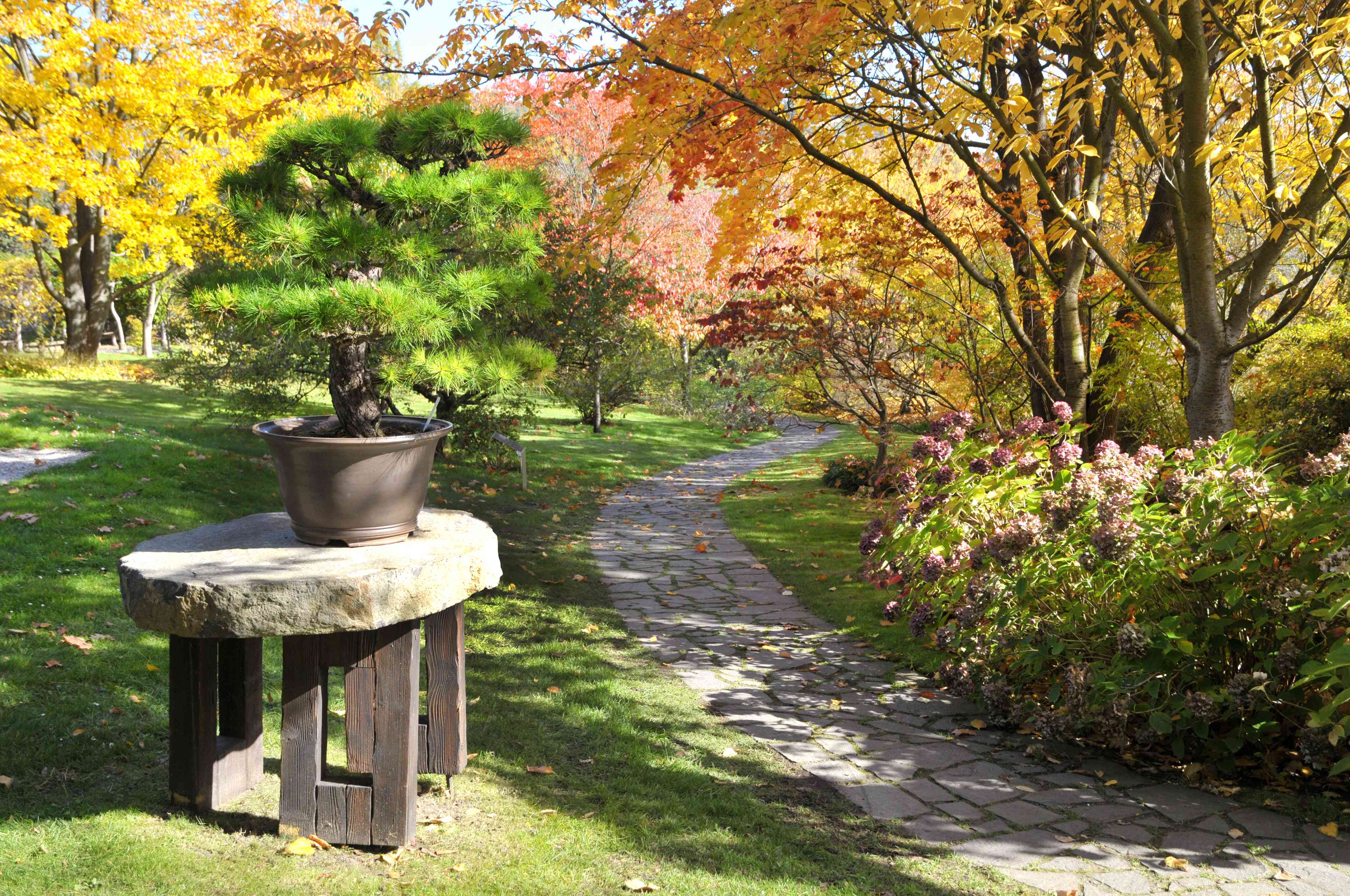 Pine bonsai tree in small gray pot on stone platform next to pathway in woods