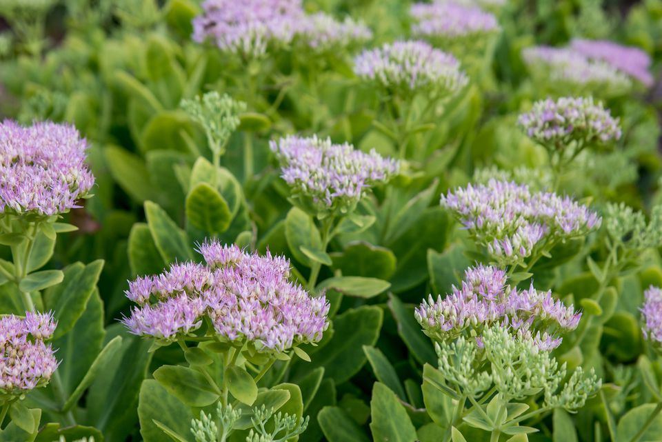 sedum plants with pink blooms