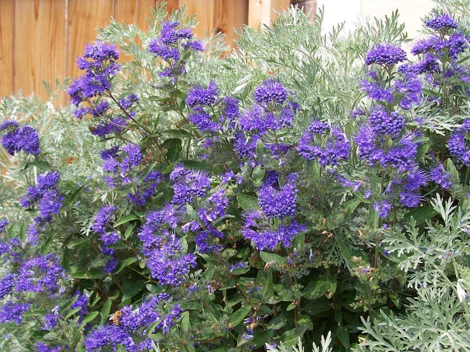 Caryopteris - Arbusto de niebla azul