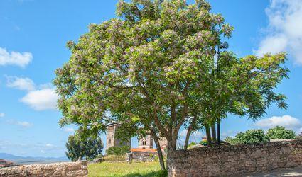 Empress tree in bloom in Spain