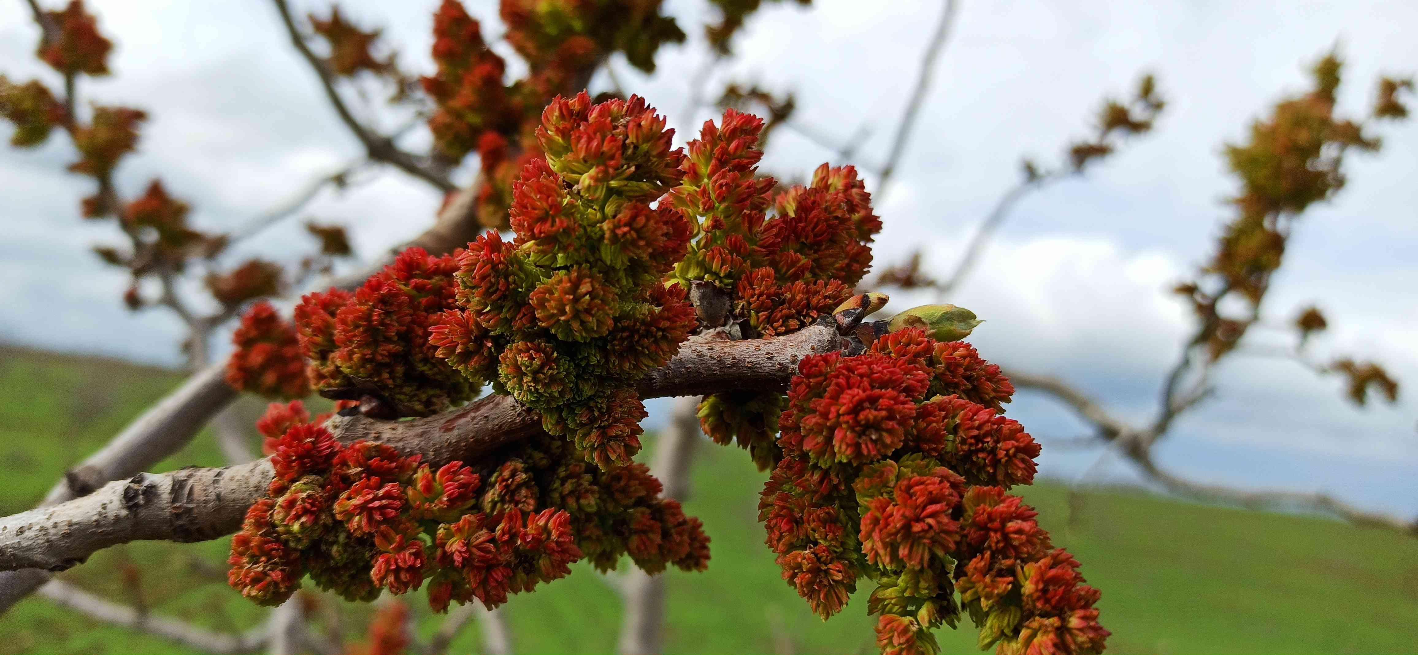 Pistachio tree in bud