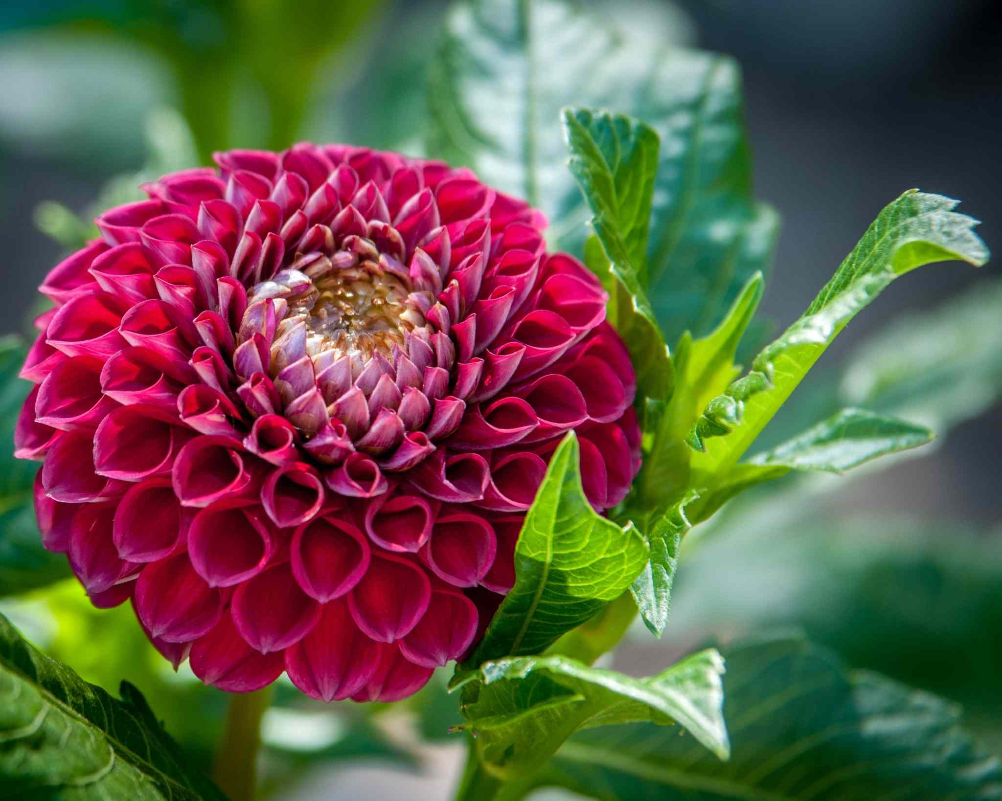 Flowers and plants allergy sufferers need to avoid red dahlia flower blooming on plant izmirmasajfo