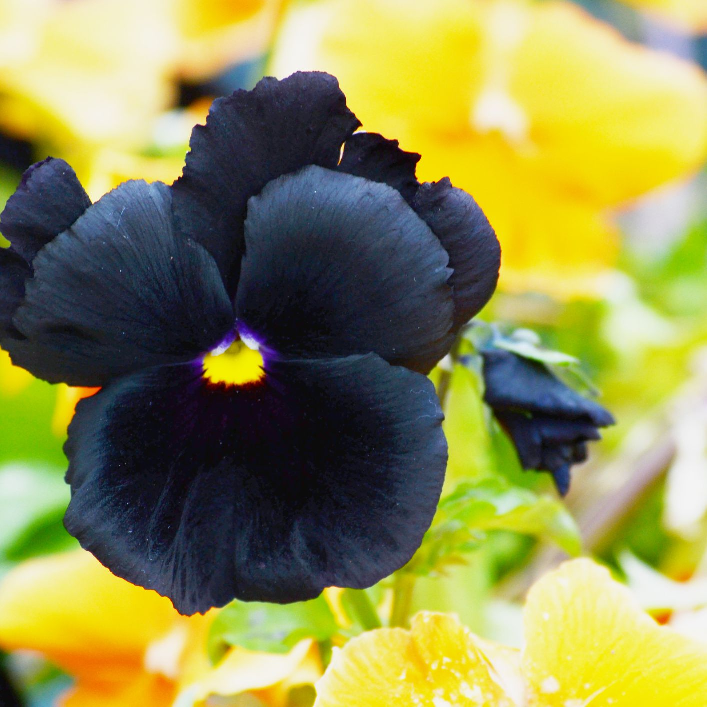 9 Black Flowers to Add Contrast to Your Garden