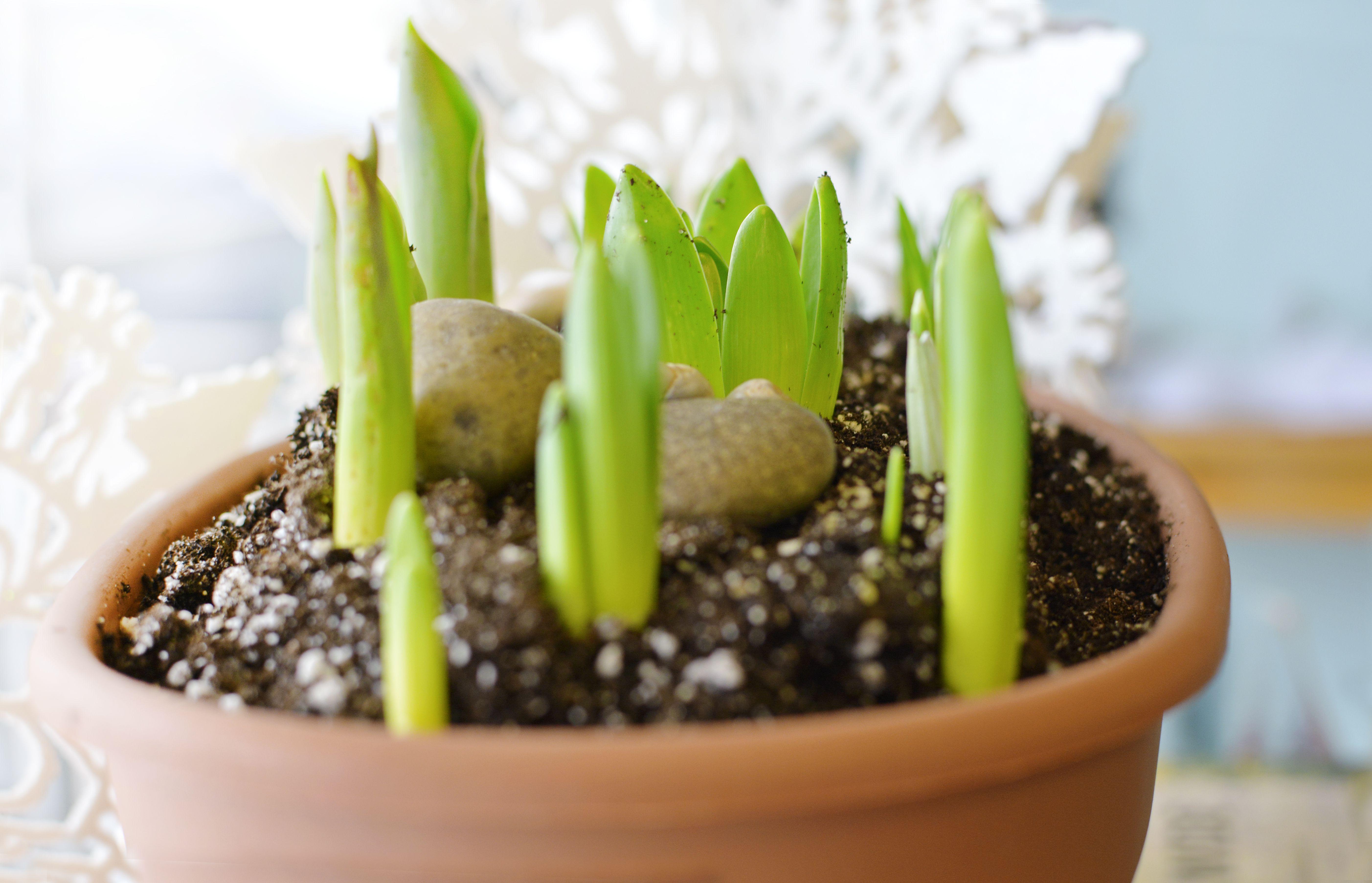 Spring bulbs in pot