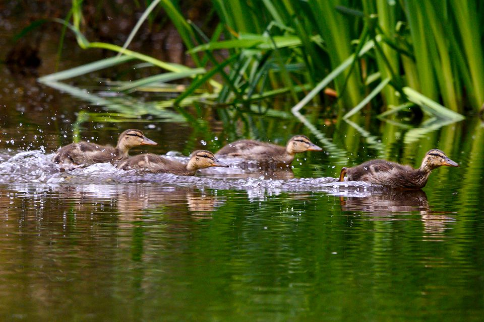 ducklings splashing through the water