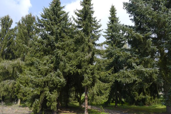 Serbian spruce trees in sunlight