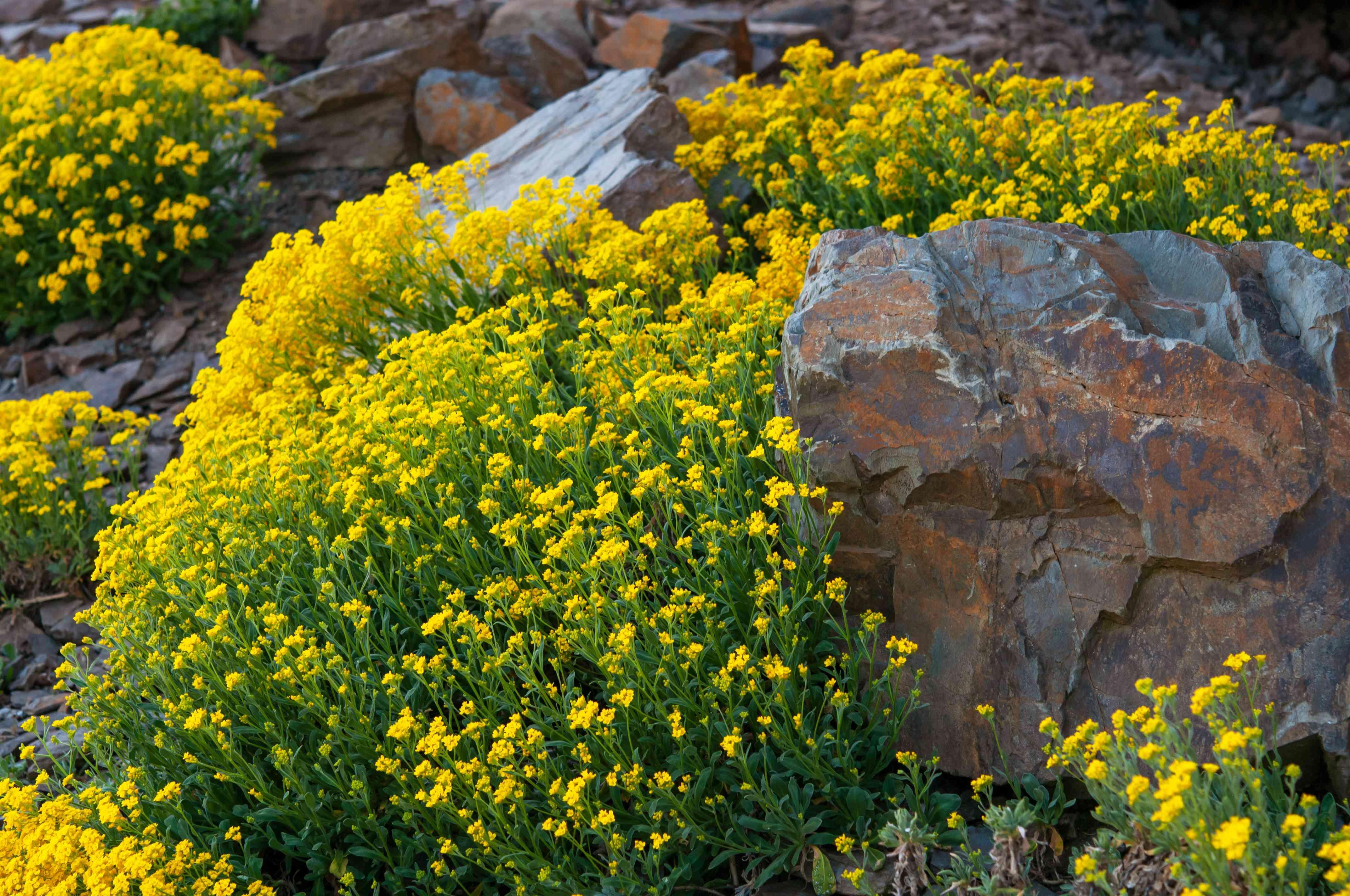 yellow alyssum growing around rocks