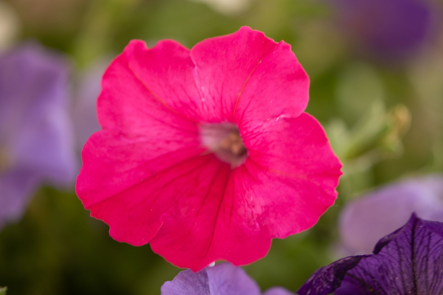 How To Grow And Care For Petunia Plants