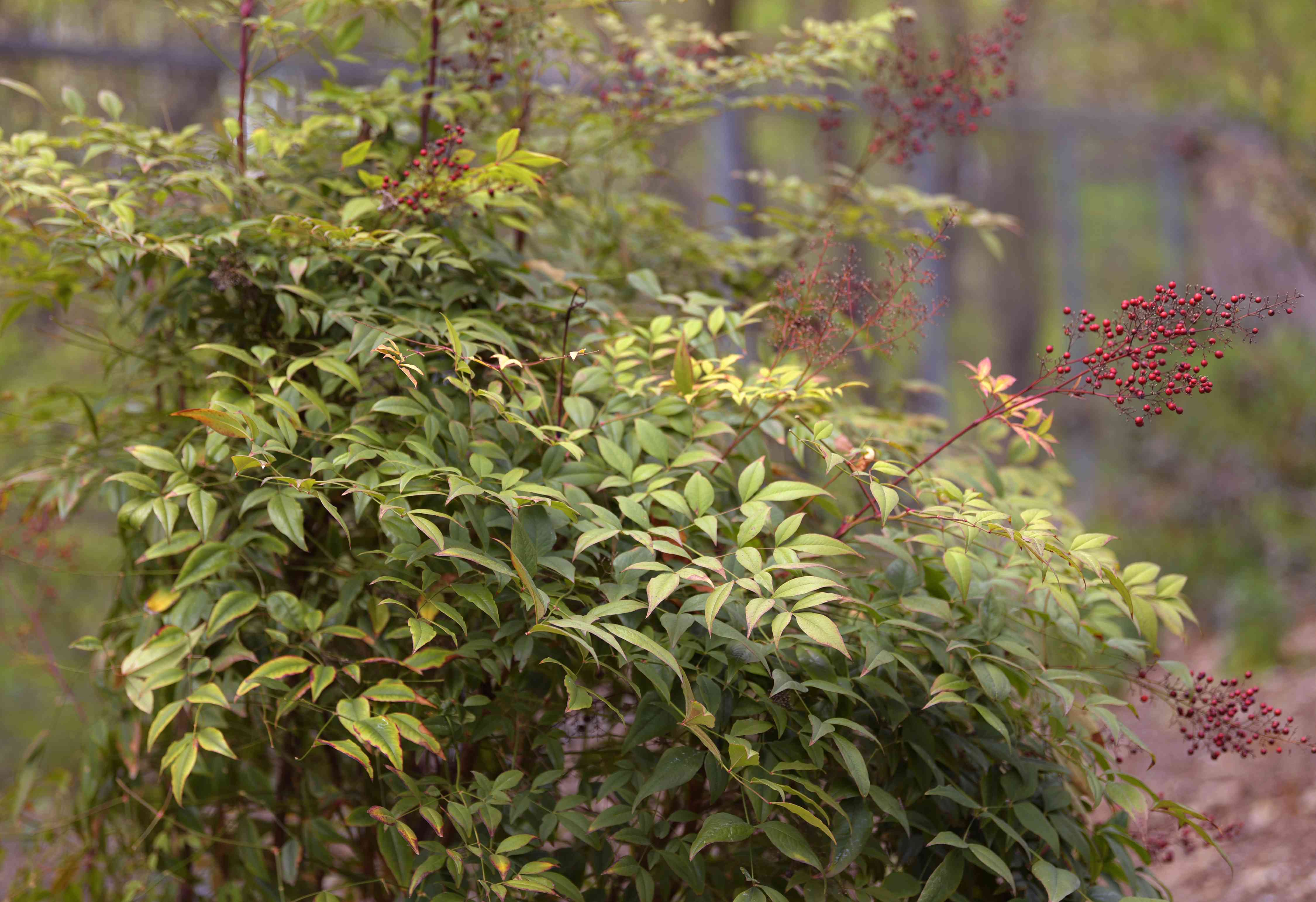 Heavenly bamboo shrub with light green leaves and small red berry clusters on thin red stems