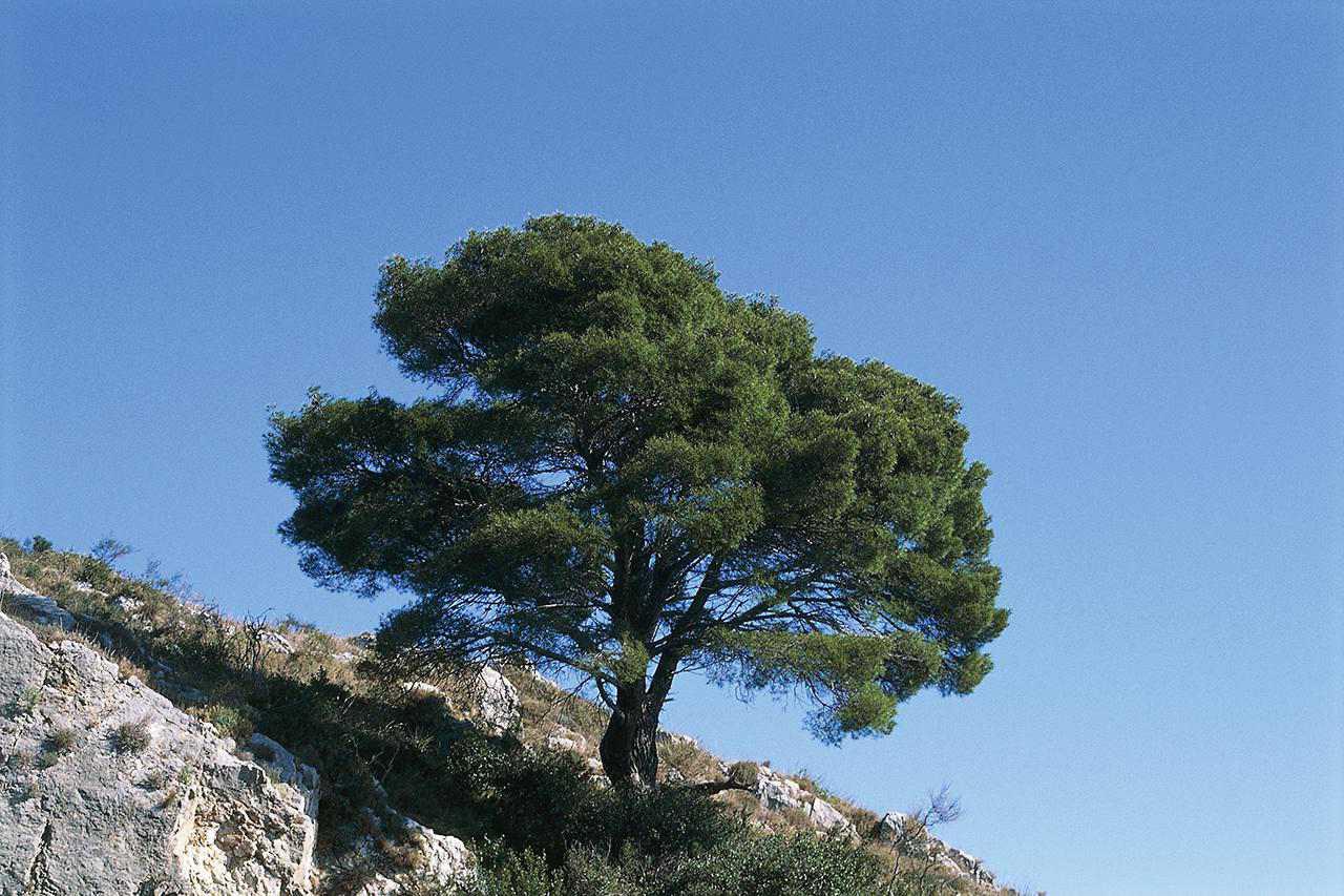 Aleppo Pine (Pinus halepensis), Pinaceae