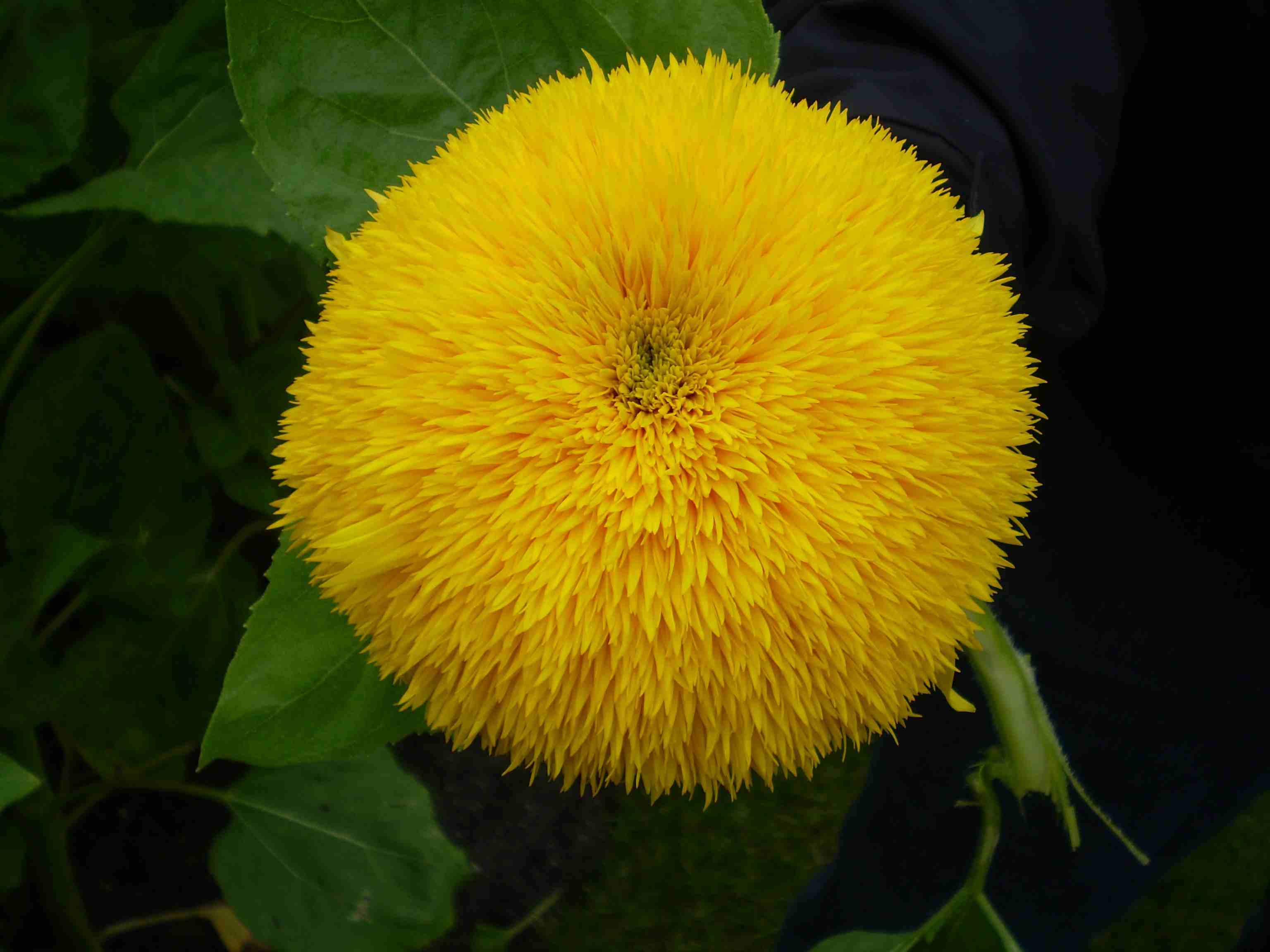 Golden Bear Sunflower