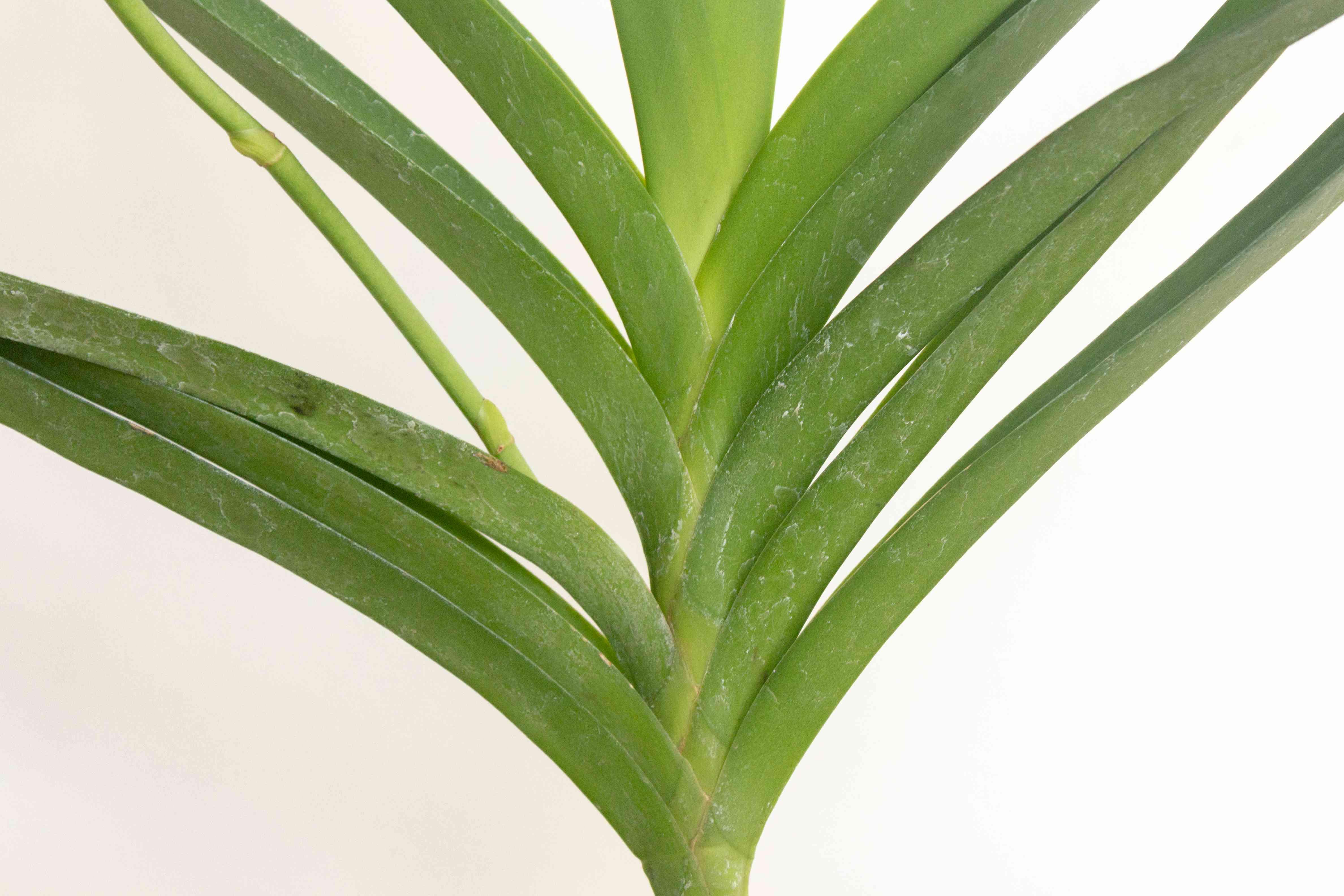 vanda orchid leaves