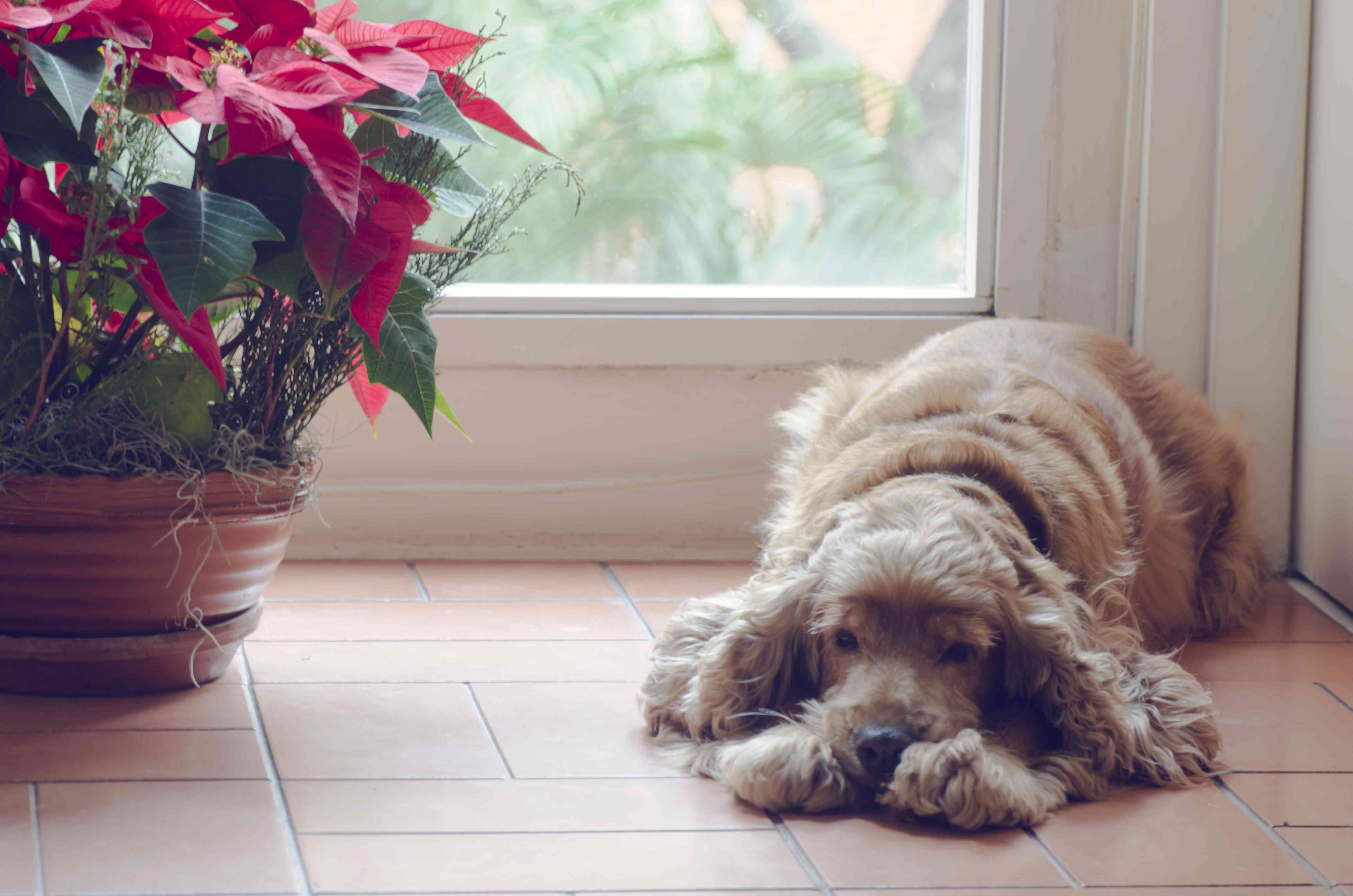 Old dog lying down resting next to a window