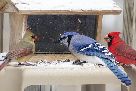 Winter Backyard Bird Species - Tips For Feeding Birds In Winter