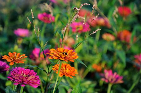 Zinnia Flowers Are Great Hardy Annual Plants Aimin Tang Getty Images