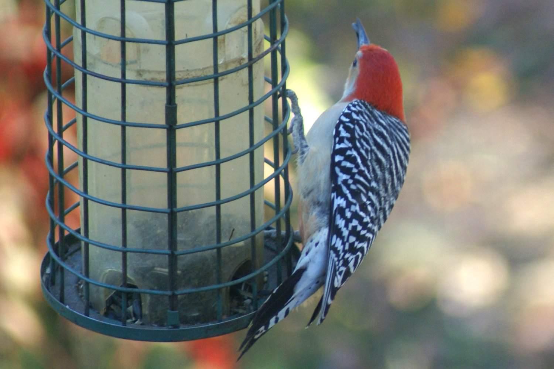 Empty Bird Feeder With Red-Bellied Woodpecker