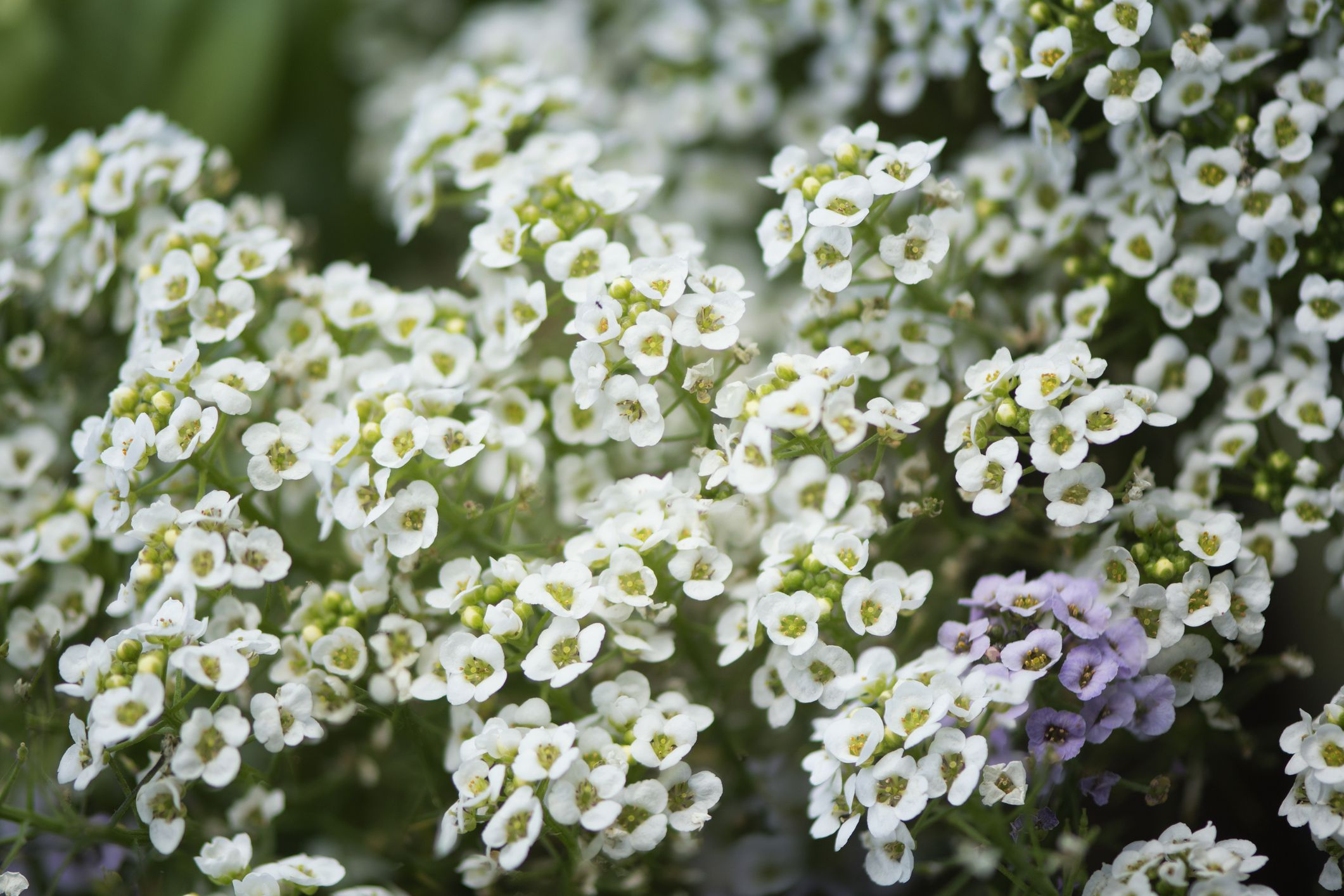 Growing And Caring For Sweet Alyssum Plants