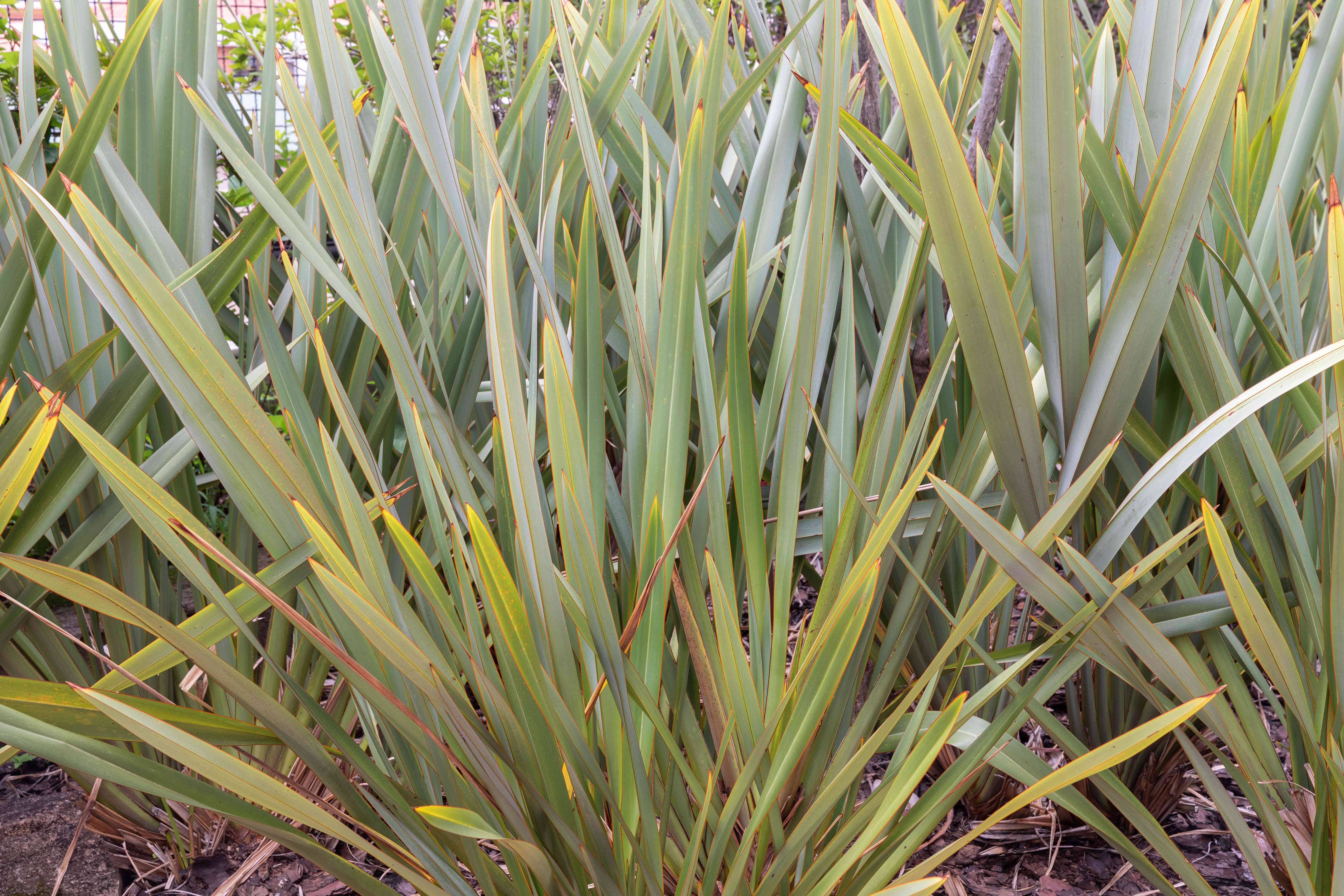 New Zealand flax ornamental grass with broad strap-like leaves fanned out
